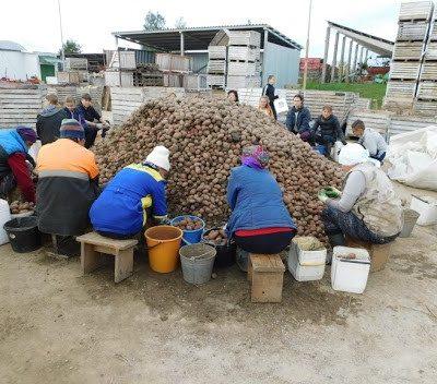 Отдел занятости приглашает граждан на работы по переборке картофеля в ОАО «Крутогорье-Петковичи»