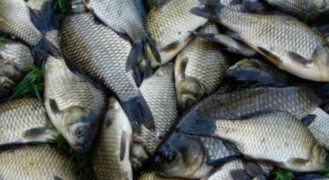 Вниманию рыболовов: на «карьерах» отмечен факт мора рыбы